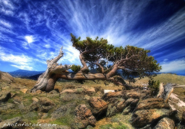 bristlecone-pines-7[2]