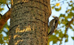 The Yellow-Bellied Sapsucker.