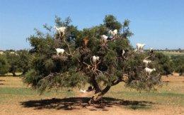 """Tree Goats ofMorocco""."