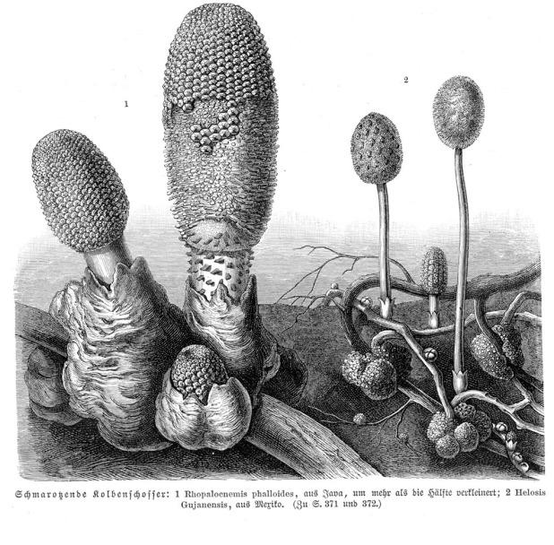 Rhopalocnemis+Helosis_sp_vMH371