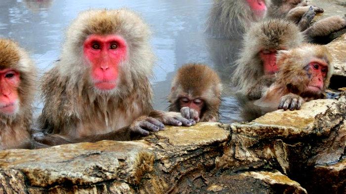 snow-monkeys-jigokudani-2[2]