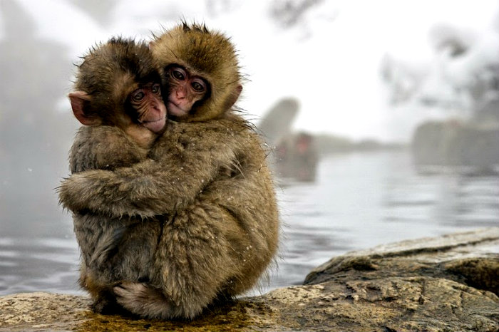 snow-monkeys-jigokudani-7[2]