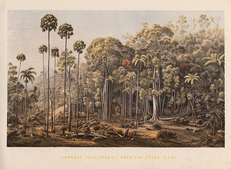 800px-Cabbage_Tree_Forest,_American_Creek_(NSW)
