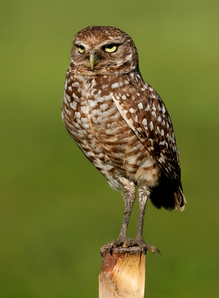 Burrowing_Owl_4354