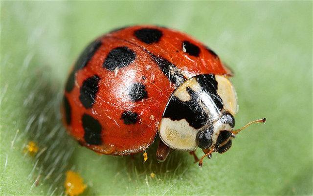 Harlequin-ladybird_2103541b