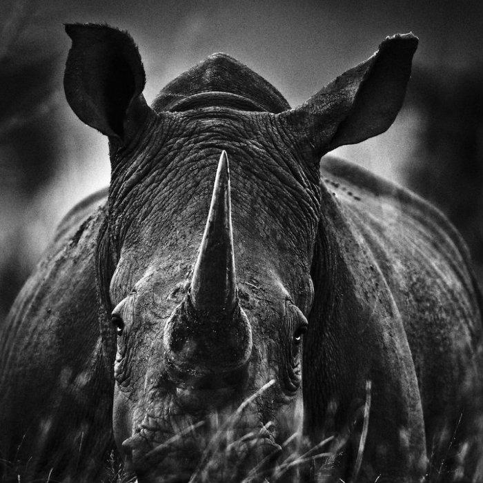 Laurent-Baheux-Rhino-portrait-South-Africa-2004-900-x-900-72-dpi__880