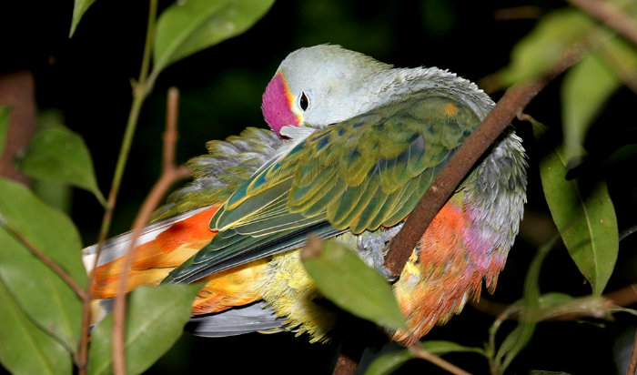 rose-crowned-dove-bird