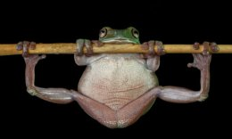 """""""Green Tree Frog WorksOut""""."""