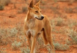 Dingoes could reverse the decline in NativeWildlife.