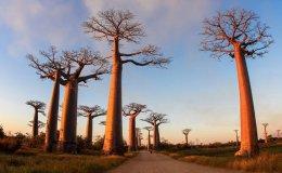 The Baobab Tree LivesOn.