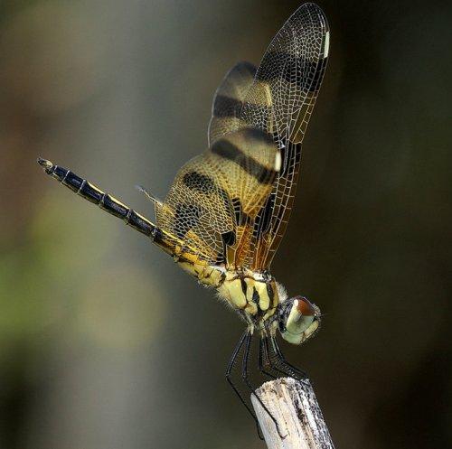 dragonfly 32