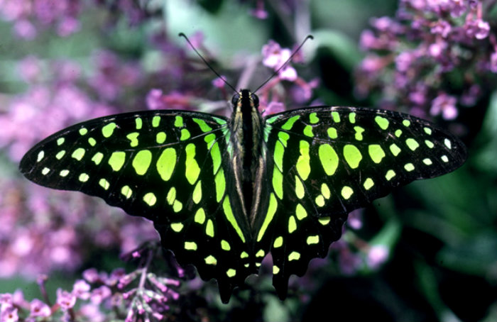 green-spotted_triangle_butterfly_large