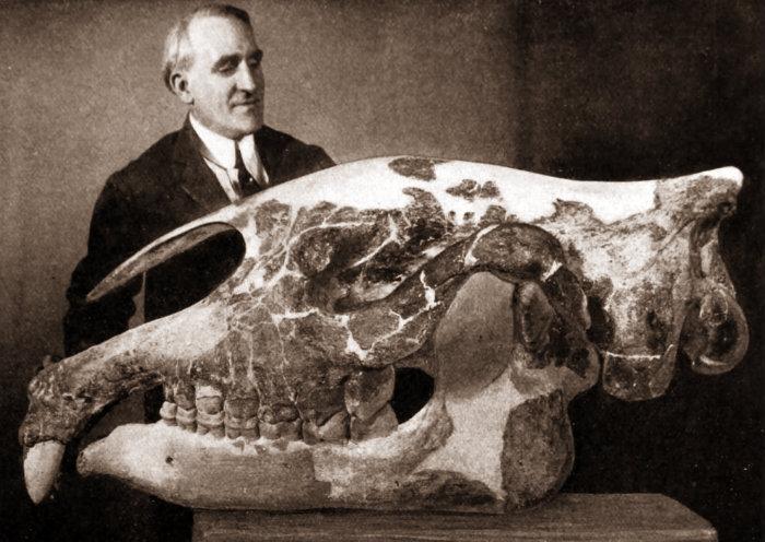 paraceratherium-skull-990x701