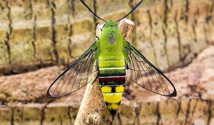 pellucid-hawk-moth