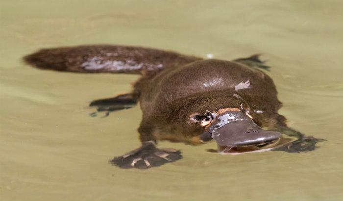 platypus_floating