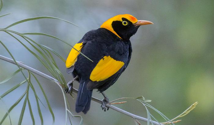 regent-bowerbird
