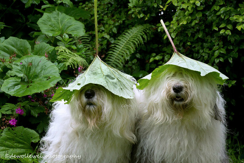 old-english-sheepdog-dog-sisters-sophie-sarah-cees-bol-23