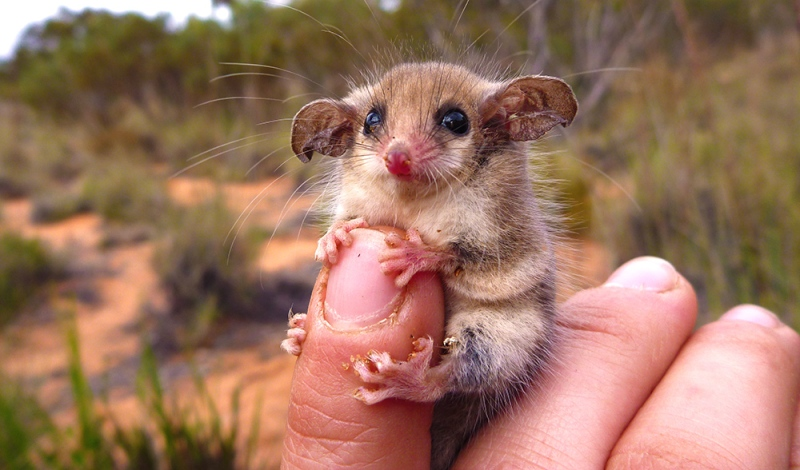 Pygmy-Possum_Amanda-McLean---Copy-(1)