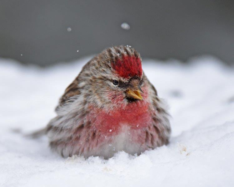 20160320_CommonRedpoll_snow
