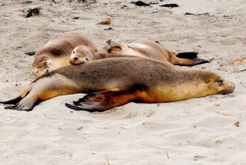 australian_seal_lion