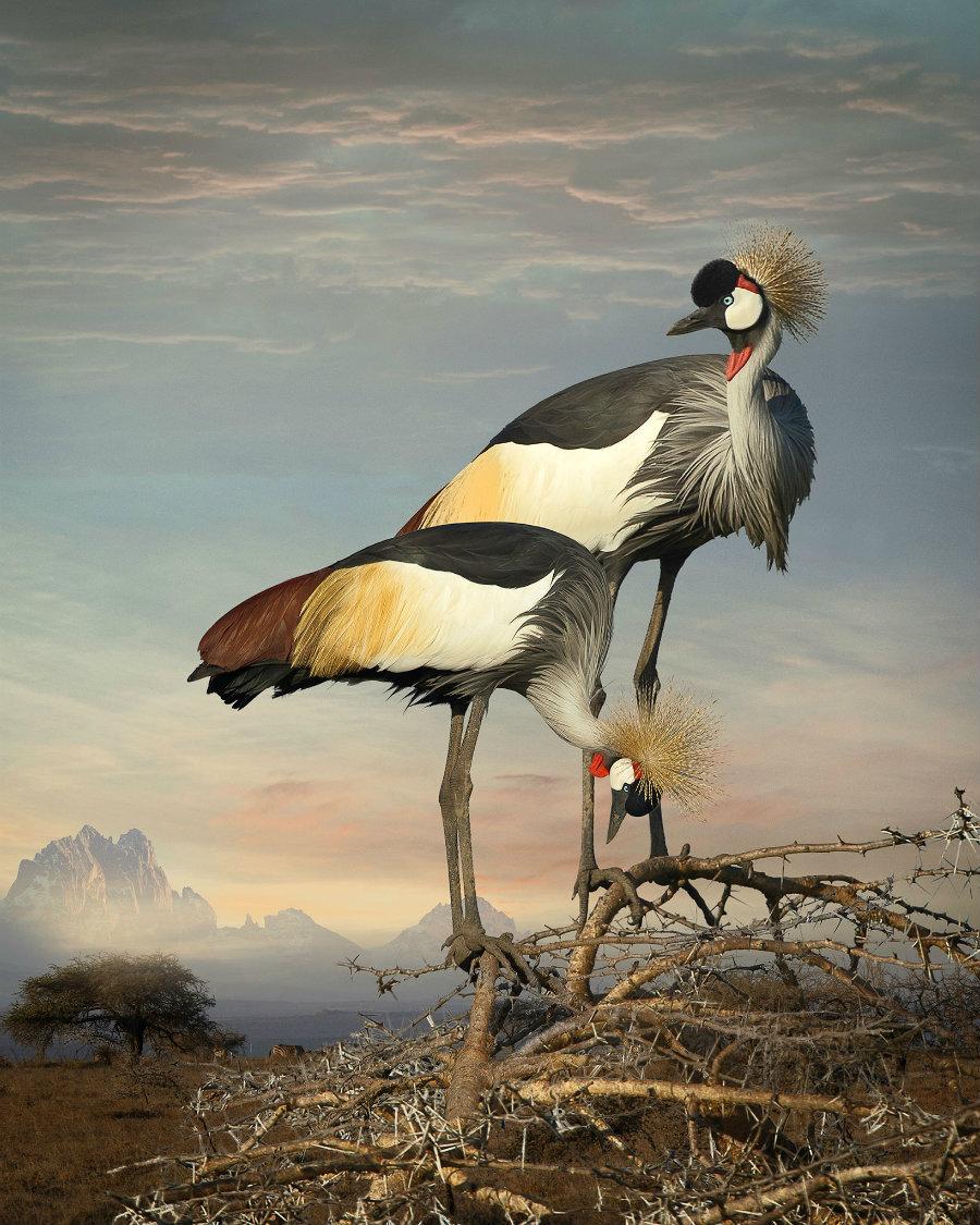 Medow_grey_crowned_cranes