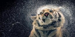 Shake it Tiger by TimFlach.