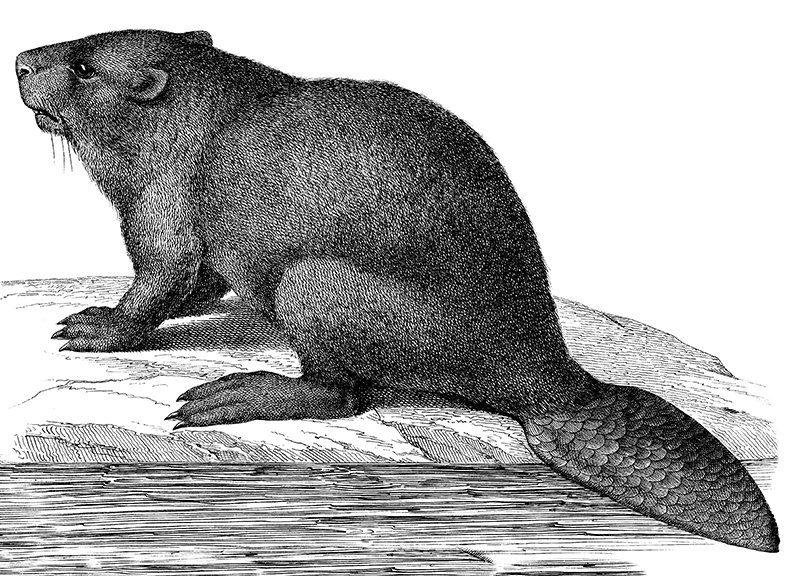 beaver1.jpg__800x600_q85_crop
