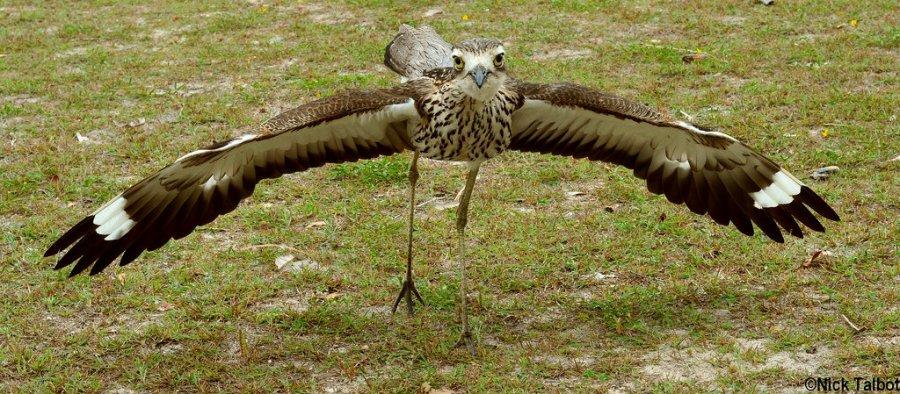 bush-stone-curlew-australian-geographic
