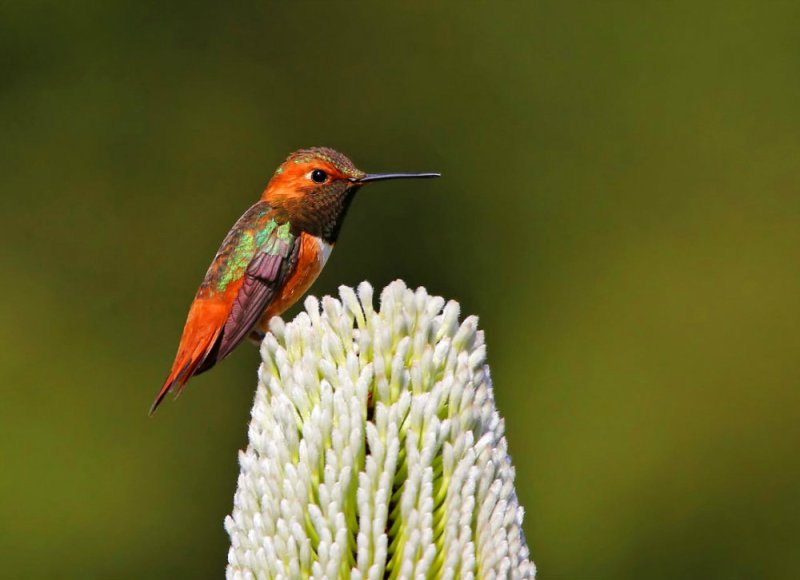 image_3146e-Hummingbird-Tongue