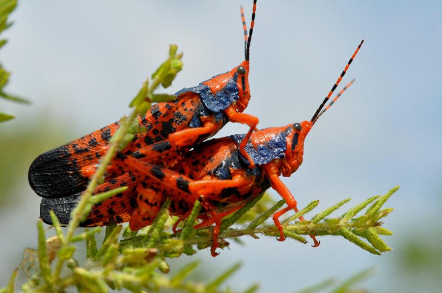 leichardt_grasshopper