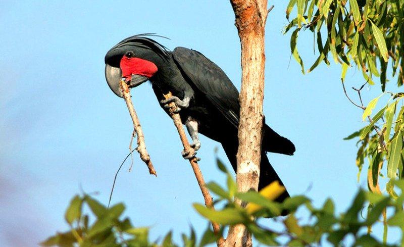 palm-cockatoo-with-stick