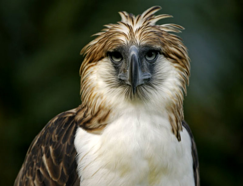philippine-eagle-hdr
