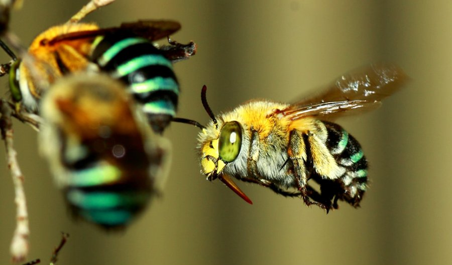blue-banded-bee