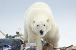 The White Bears are Back. HudsonBay.