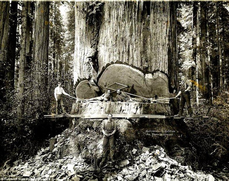 lumberjacks-redwood-9[6]