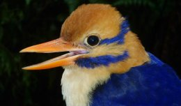 The Rare MoustachedKingfisher.