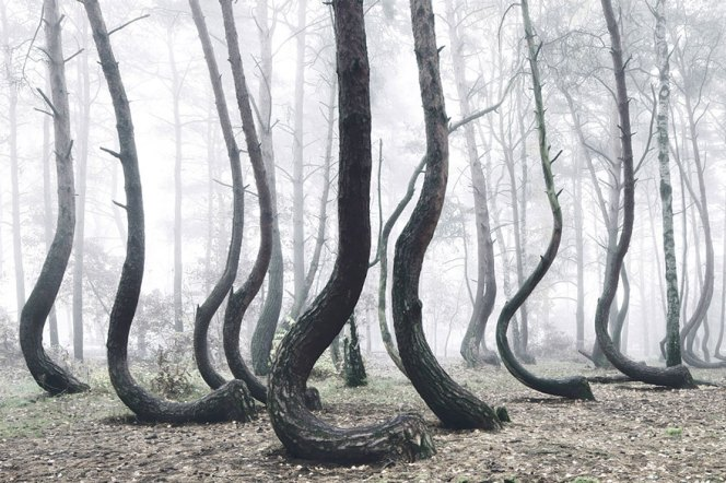 crooked-forest-krzywy-las-kilian-schonberger-poland-6