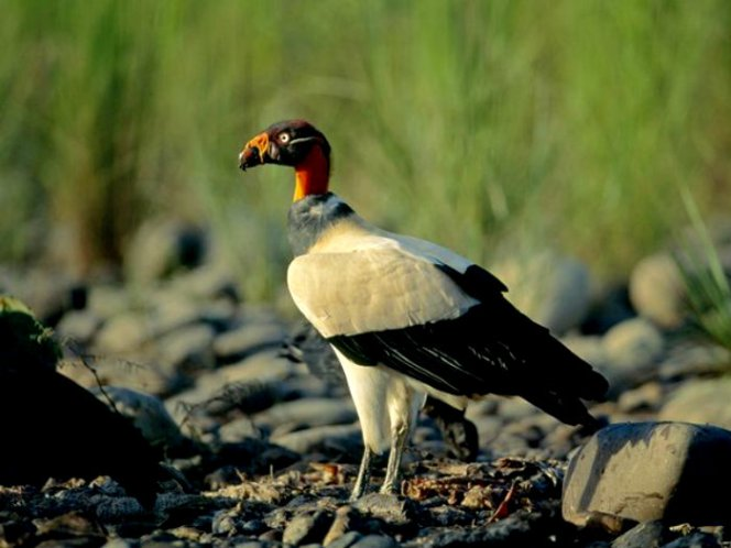 king-vulture_595_600x450