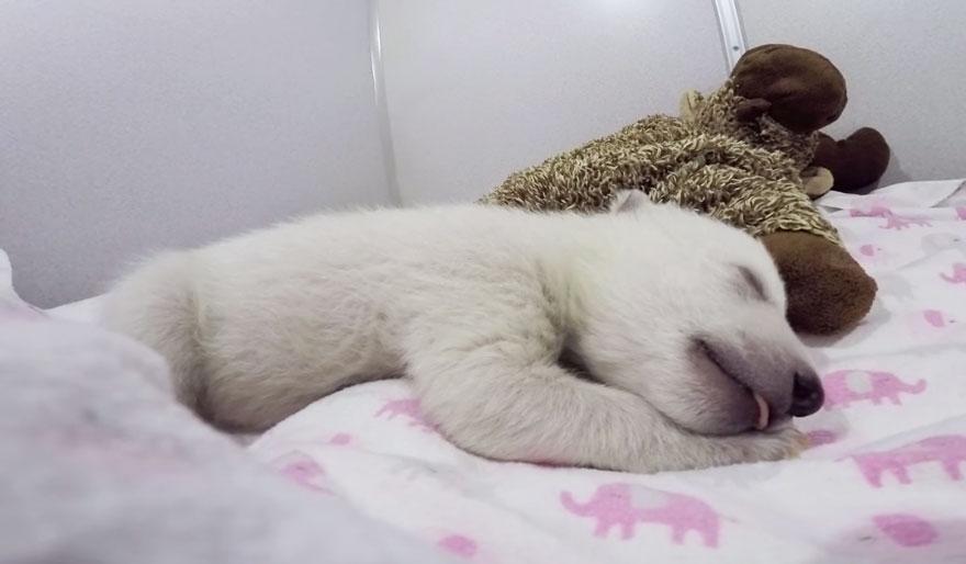abandoned-baby-polar-bear-sleeping-plush-toy-columbus-zoo-aquarium-9