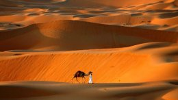 Walking the Camel at Liwa Oasis, Abu Dhabi.
