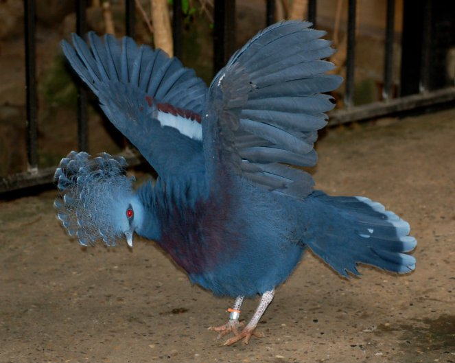 Victoria_Crowned_Pigeon_Goura_victoria_Wings_Spread_2236px