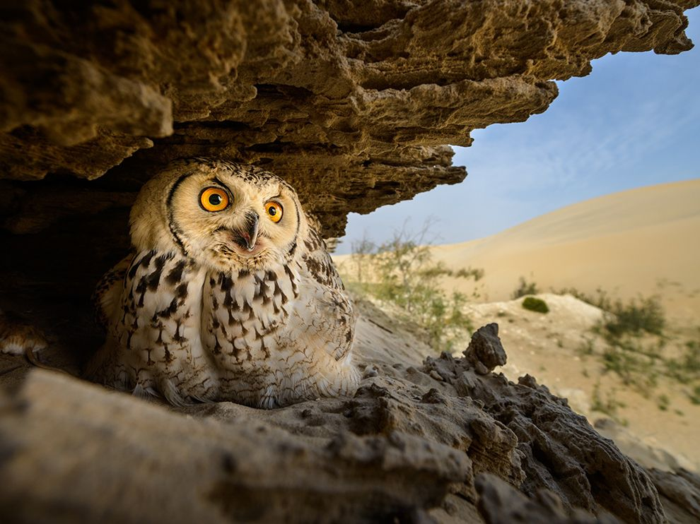 pharaoh-eagle-owl_95049_990x742