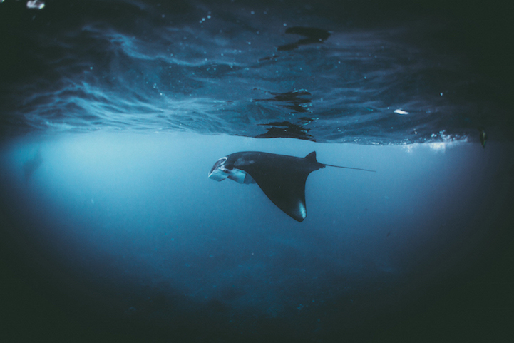 A manta ray swimming in the Indian ocean, Indonesia