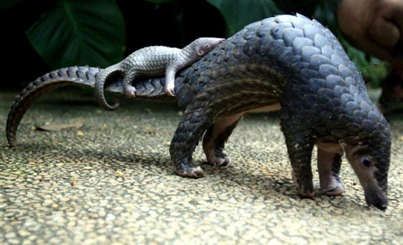 pangolin_and_her_b_3179348b