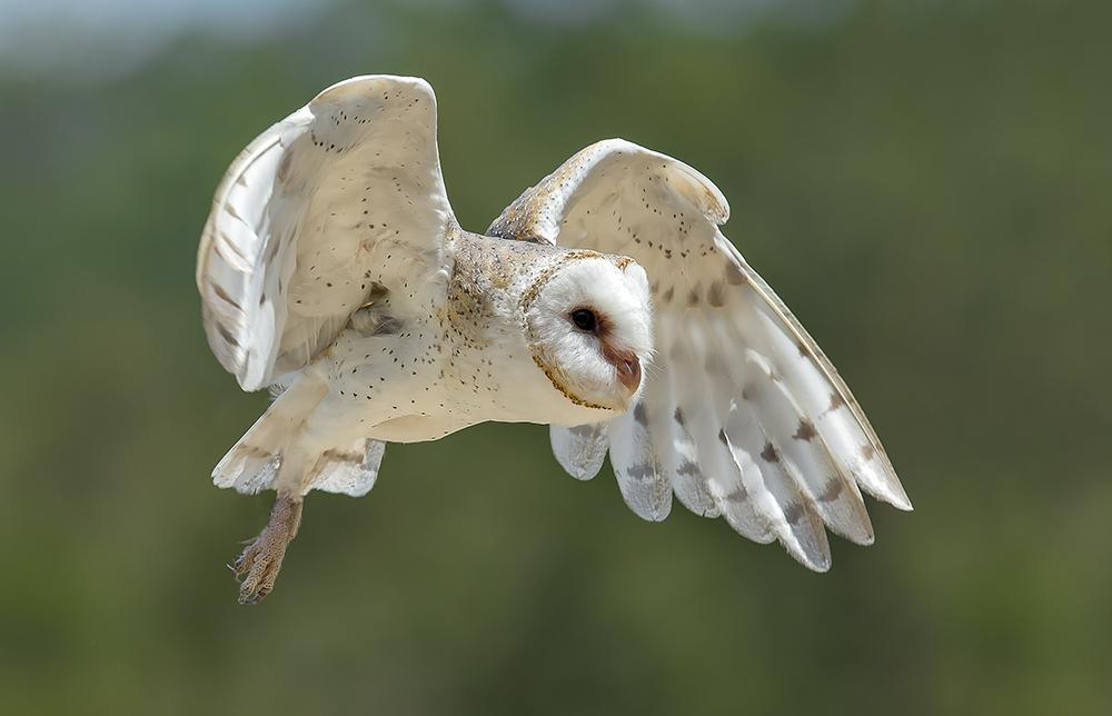 barn-owl-tyto-alba_web