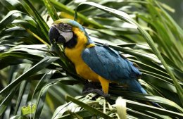 Macaws at risk in Bolivia.