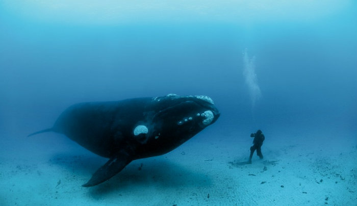 bowhead-whale-images