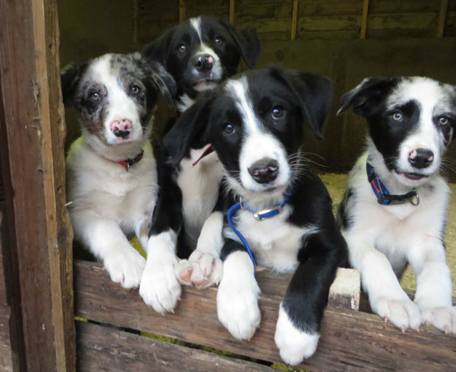 farm-bred-working-border-collies-5298896ca2650