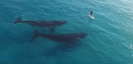 """""""Drone's Eye View of Whales Visiting a PaddleBoarder."""""""