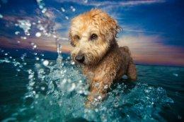 Dog Photos of 2017: Petey the Wheaten Terrier,Boston.
